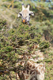 Giraffe in Naivasha-Park stockfotos