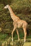 Giraffe in Naivasha park Stock Photo