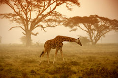 A giraffe, Nakuru. Savanna Kenya stock photo