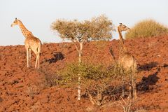 Giraffe in Namib Royalty Free Stock Images