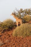 Giraffe in Namib Royalty Free Stock Photos