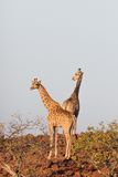 Giraffe in Namib Stock Photography