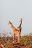 Giraffe in Namib Stock Photography