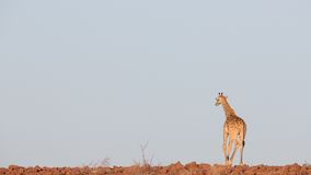Giraffe in Namib Stock Photos