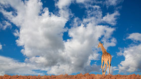 Giraffe in Namib Royalty Free Stock Photos