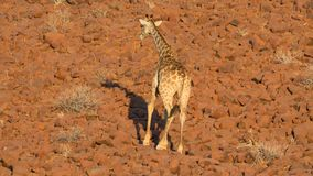 Giraffe in Namib Stock Photo