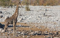A giraffe Stock Photo
