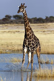 Giraffe - Namibia Royalty Free Stock Images