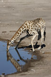 Giraffe - Namibia. A Giraffe (Giraffa camelopardalis) drinking at a waterhole in Etosha National Park in Namibia Stock Image