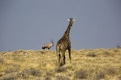 Giraffe in Namibia Stock Images