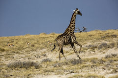 Giraffe in Namibia Royalty Free Stock Photo