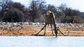 Giraffe in Namibia drinking from a pool stock photo