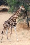Giraffe namibia Royalty Free Stock Photos