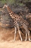 Giraffe namibia Stock Photo