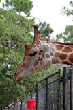 A Giraffe at the Naples Zoo Stock Photo