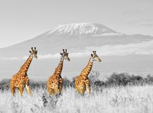 Giraffe in National park of Kenya Royalty Free Stock Image