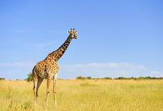 Giraffe in National park of Kenya Stock Photos