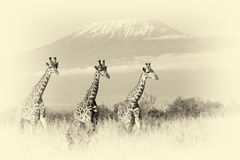 Giraffe in National park of Kenya. Vintage effect Stock Photography