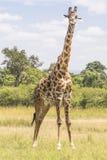 Giraffe. In the National Park Masai mara in Kenya royalty free stock photo