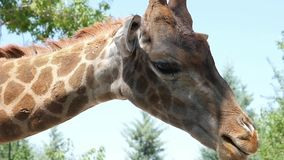 Giraffe in national park stock video footage
