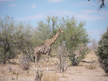 Giraffe in Nationalpark Chobe Lizenzfreies Stockbild