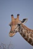Giraffe in Nationalpark Etosha Stockbilder