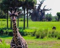 Giraffe in natural habitat at Animal Kingdom. Giraffe at Disney's Animal Kingdom Theme Park, Orlando, Florida Royalty Free Stock Photo