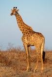 Giraffe in natural habitat Royalty Free Stock Photos