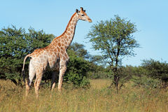 Giraffe in natural habitat Royalty Free Stock Images