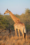 Giraffe in natural habitat Royalty Free Stock Photography
