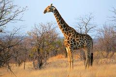Giraffe in natural habitat Stock Photography