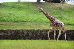 Giraffe on nature background. Giraffe in natural zoological park, side view Stock Photos