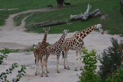 Giraffe. In the nature of ZOO Prague Stock Photos