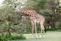 Giraffe near Acacia tree Royalty Free Stock Photography