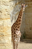 Giraffe near cliff Royalty Free Stock Photo