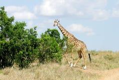 A Giraffe near green  bushes Stock Image