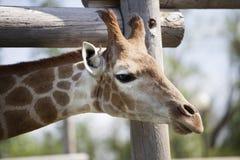 Giraffe near a wooden fence.  Stock Photo