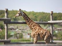Giraffe near a wooden fence. The Giraffe near a wooden fence Stock Photography