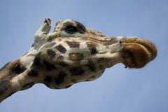 Giraffe neck Royalty Free Stock Image