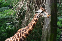 Giraffe Neck Stock Photography