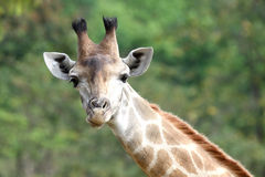 Giraffe neck Royalty Free Stock Photography