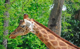 Giraffe neck close up Stock Photography