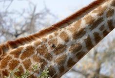 Giraffe neck Royalty Free Stock Images