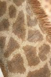 Giraffe Neck Coat Stock Photography