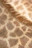 Giraffe Neck Coat. Closeup of Giraffe Neck Coat 2 Stock Photo