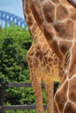 Giraffe neck & front legs with partial view of Sydney Harbour Bridge. This image is taken in Taronga Zoo with contrast colour of the two giraffe skin fur and Stock Photography