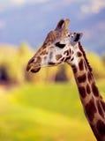 Giraffe Neck & Head. Giraffe with yellow & Blue background stock photo
