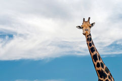 Giraffe neck and head against the clear blue sky Royalty Free Stock Image