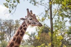Giraffe neck and head - horizontal. Shot, leaf environment Royalty Free Stock Photography