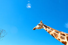 Giraffe neck profile sky Stock Images